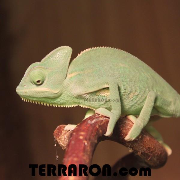 Jemen Chameleon
